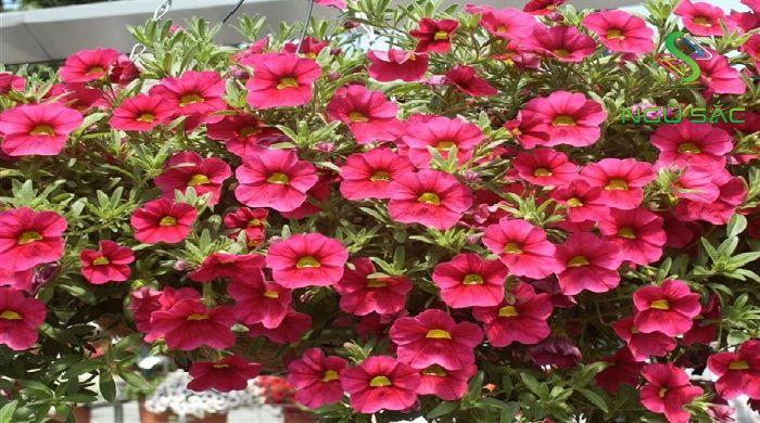 Hoa mang sắc đỏ tượng trưng cho Hỏa