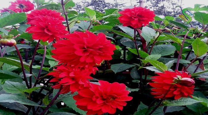 Hoa thược dược trong sân vườn