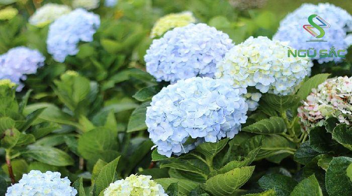 Hoa cẩm tú cầu tượng trưng cho mệnh Mộc