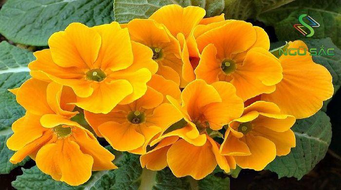 Loài hoa biểu thị Thổ