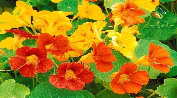 Hoa sen cạn đặc trưng cho yếu tố thổ