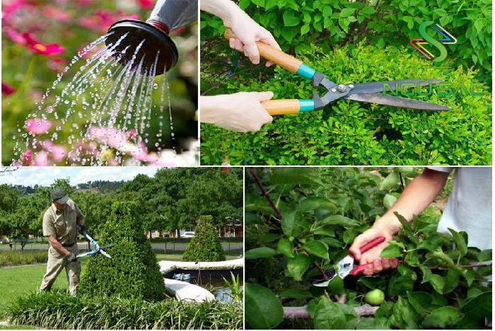 Tỉa lại cây cảnh sân vườn