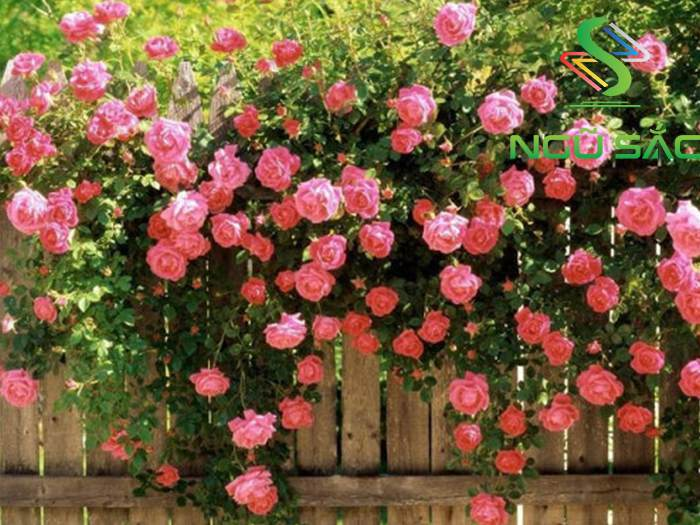 Hoa hồng leo thơ mộng