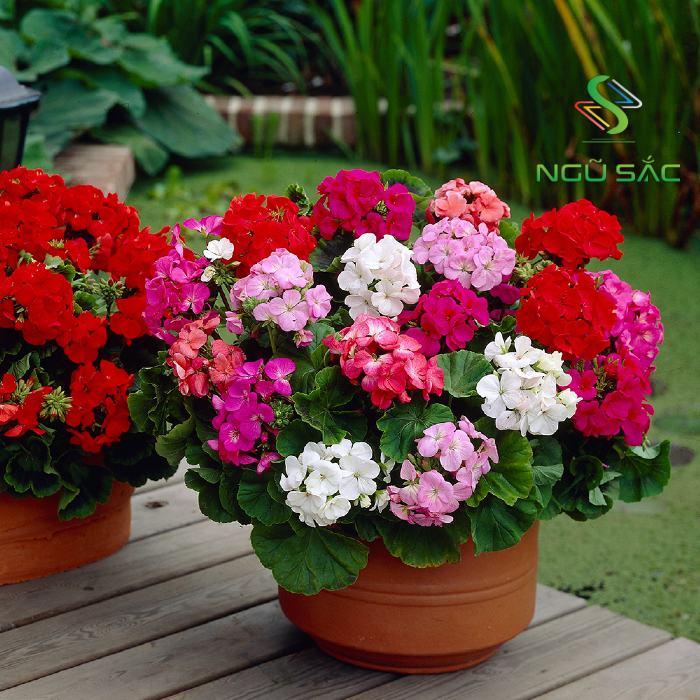 Hoa phong lữ trồng ban công