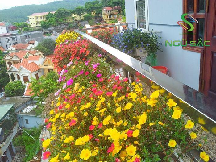 Hoa sam trồng chậu