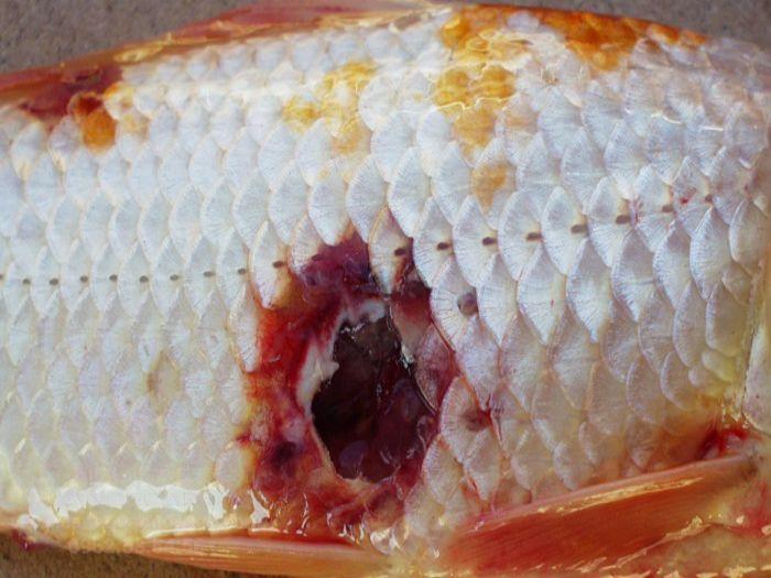 Cách chữa bệnh loét ở cá Koi