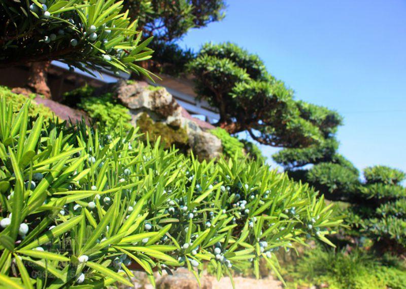 Giống cây Vạn Niên Tùng La Hán