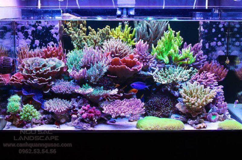 Thiết kế hồ san hô tươi
