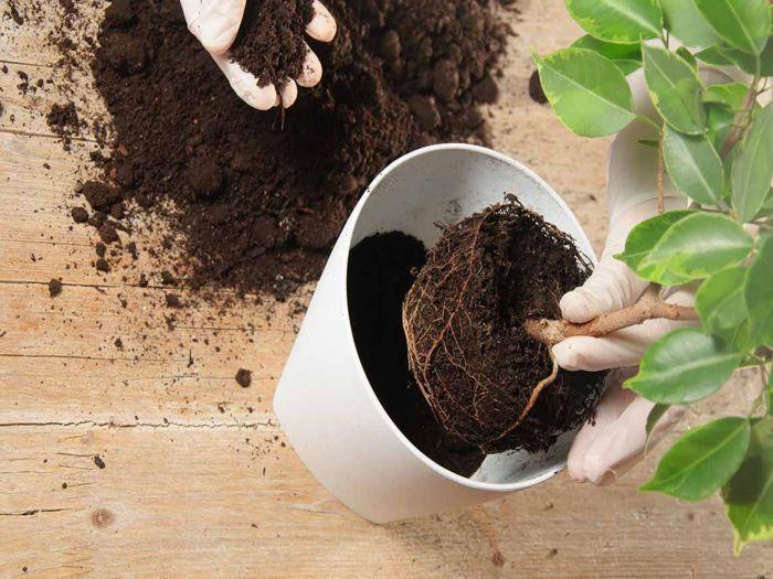 Thay đất giúp cây phát triển tốt hơn