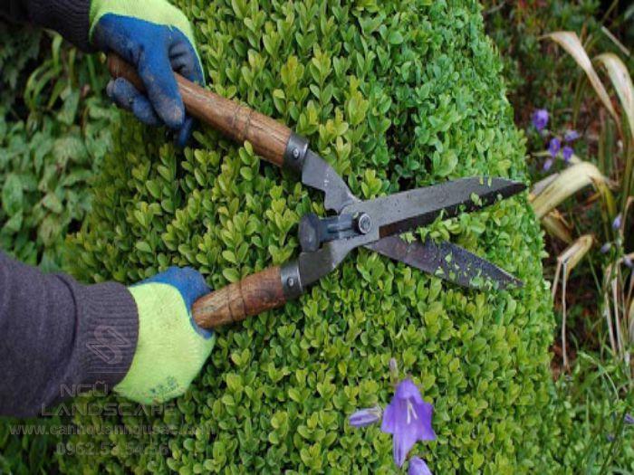 Tỉa cành cho cây cảnh để định hình dáng cây theo ý muốn