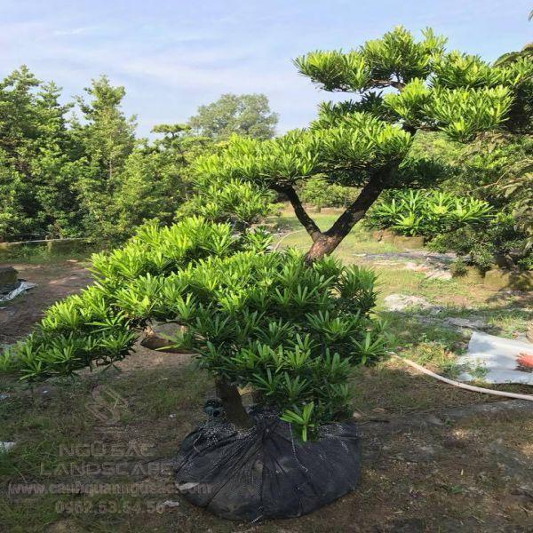 Tùng Kim Cương trồng bonsai đẹp