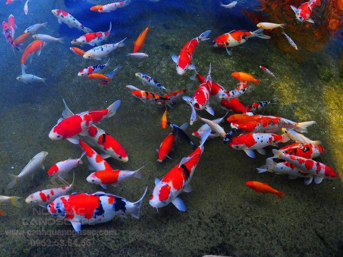Chọn màu cá Koi hợp phong thủy gia chủ