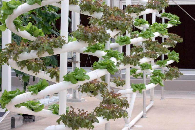 Giống cây trồng thủy canh