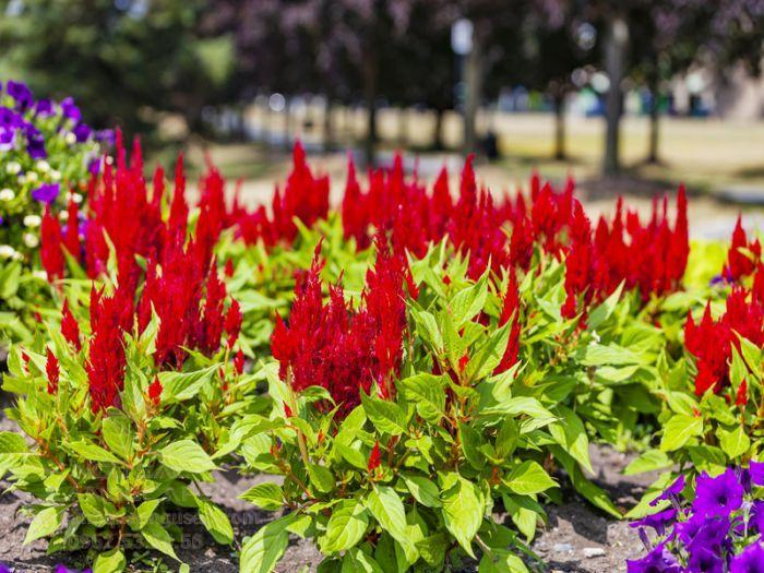 Cây hoa màu gà