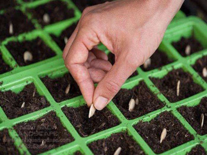 Gieo hạt ở khay nhỏ trước khi trồng ra đất