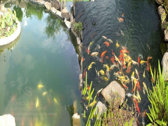 Hồ cá Koi bị đục màu do không có hệ thống lọc