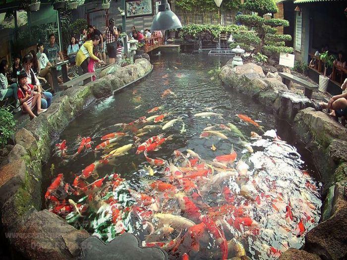 Hồ cá Koi thu hút sự quan tâm của cả trẻ em và người lớn