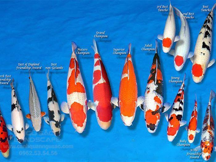 Các loại cá Koi và nguồn gốc của chúng