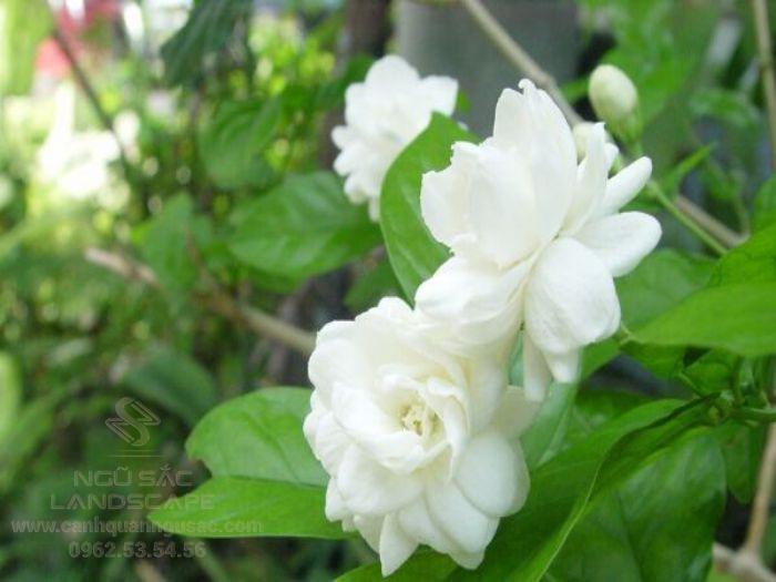 Mùi hương hoa nhài giúp chúng ta ngủ ngon hơn