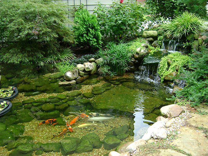 Cây thủy trúc trong thiết kế hồ cá Koi