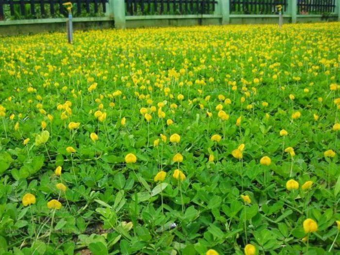 Cỏ đậu với hoa vàng nở quanh năm