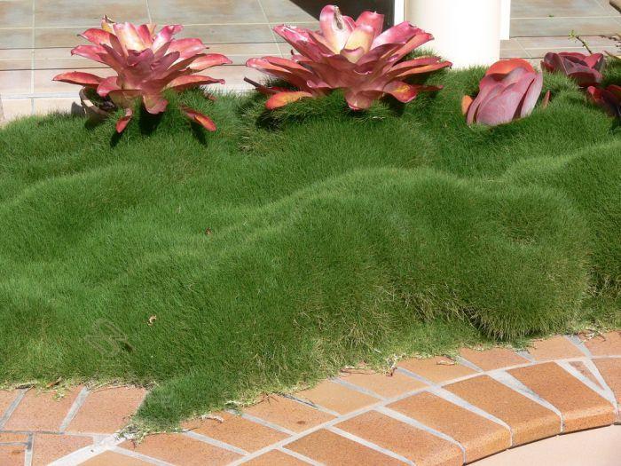 Cỏ lông heo được dùng để trồng thành thảm cỏ hay đồi cỏ