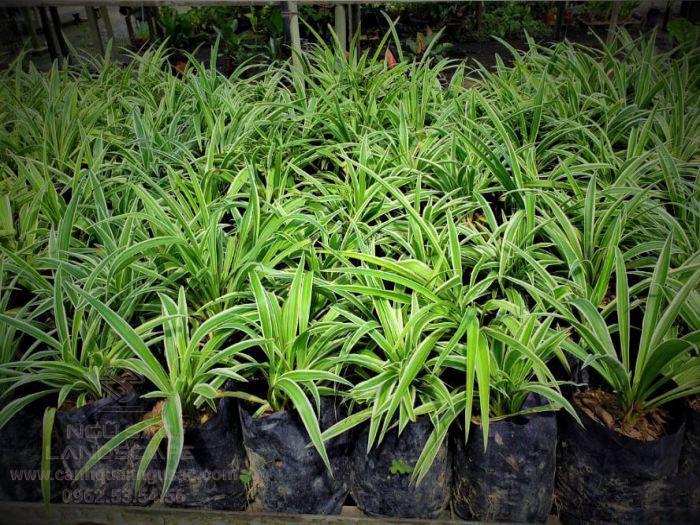 Lan chi là loại cây trồng sân vườn nổi tiếng