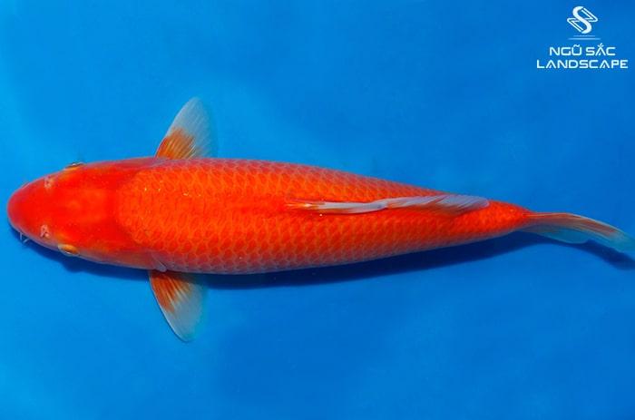 cá koi benigoi