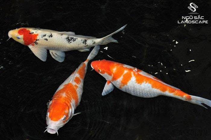 tập tính sinh sản cá koi