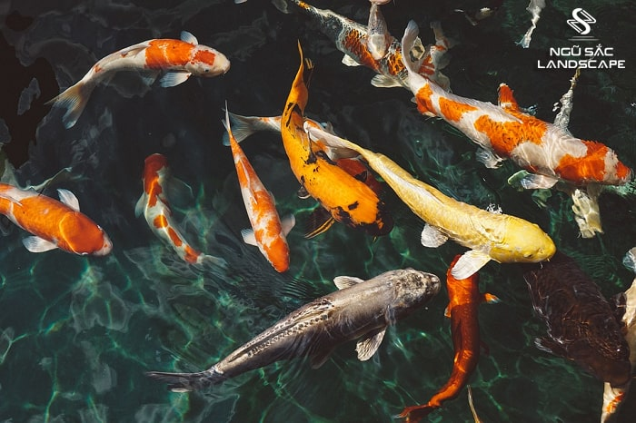 Cá Koi Nhật Bản thuần chủng