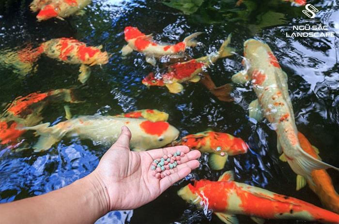 Tập tính ăn uống của cá koi