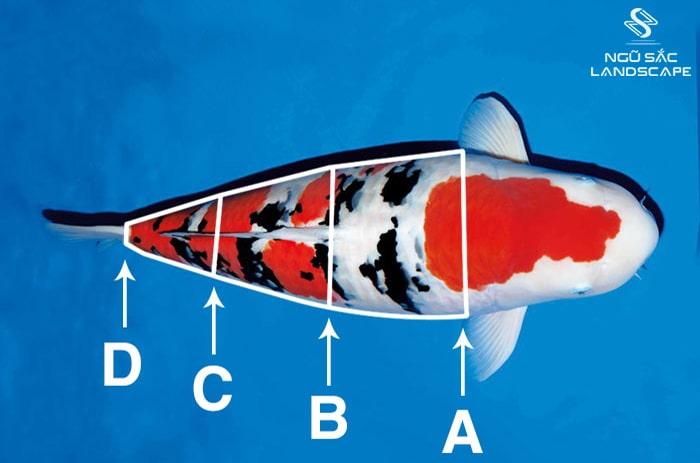 cá koi có tỷ lệ thân hình cân đối