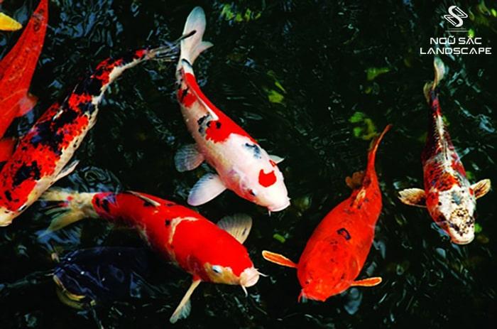 ý nghĩa của cá koi trong phong thủy